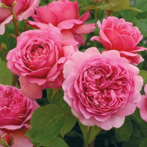 most-fragrant-english-roses-english-roses